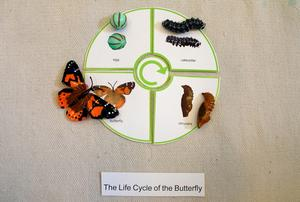 Butterfly life cycle.JPG